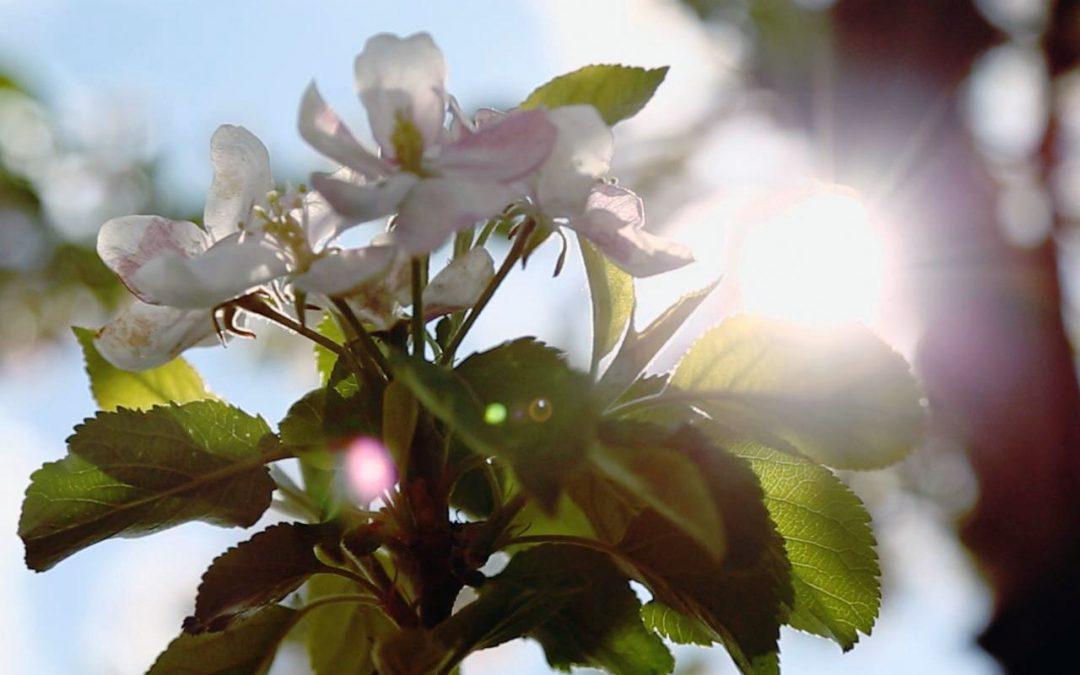 "Emilia Lewandowska on the Polish apple season ""It's expected production will increase by 17%"""
