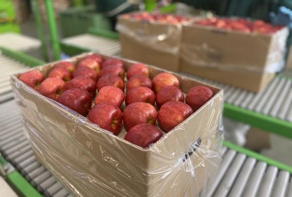 "Emilia Lewandowska on the Polish apple season ""We exported 30% more apples this autumn"""